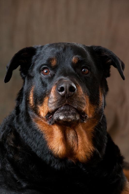Main-Line-Big-Dog-Pet-Portrait-Photographer