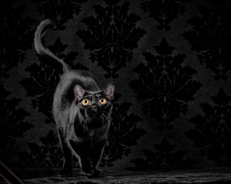 Main-Line-Cat-Pet-Portrait-Photographer