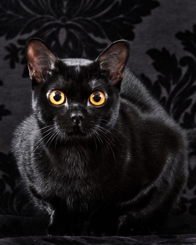 Main-Line-Family-Pet-Cat-Portrait-Photographer